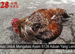 Solusi Untuk Mengatasi Ayam S128 Aduan Yang Lemas