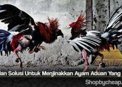 Tips dan Solusi Untuk Menjinakkan Ayam Aduan Yang Liar